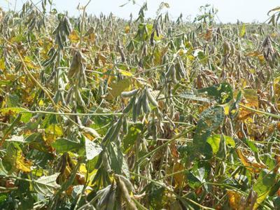 Xtend soybeans