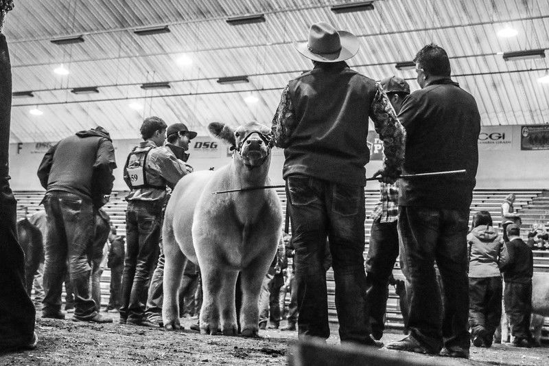 NSC cattle show
