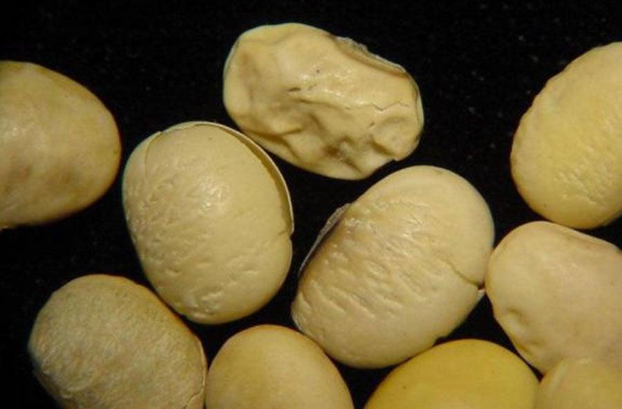 deformities in soybean seed