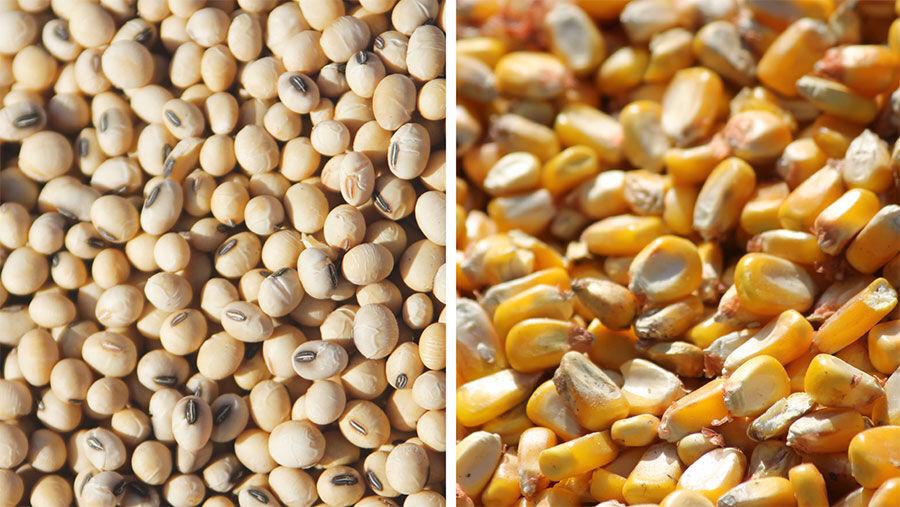 Soybean and Corn split screen