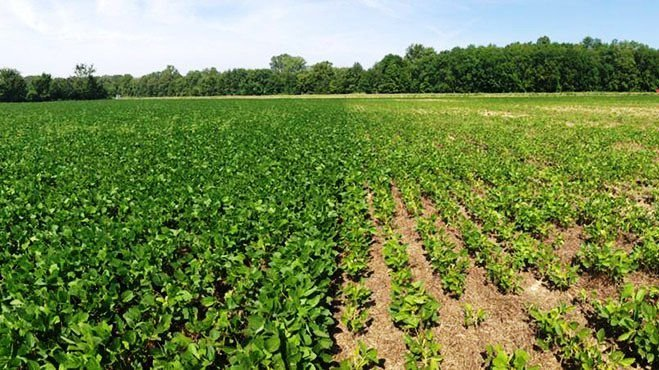 Side by side of soybean-cyst nematode infected field