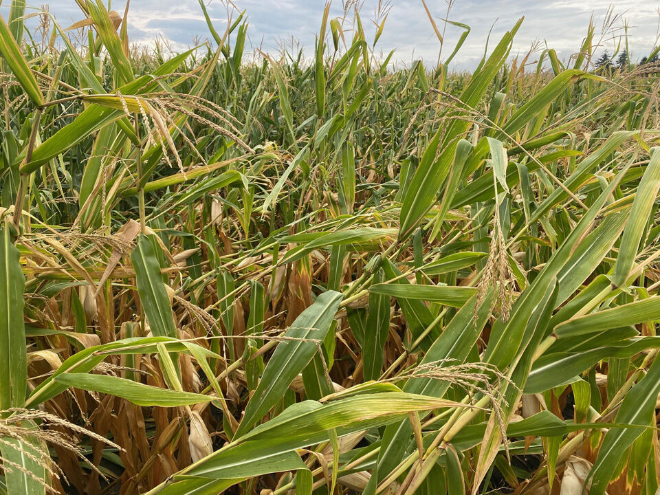 Corn wind damage, central MN Aug. 23, 2021