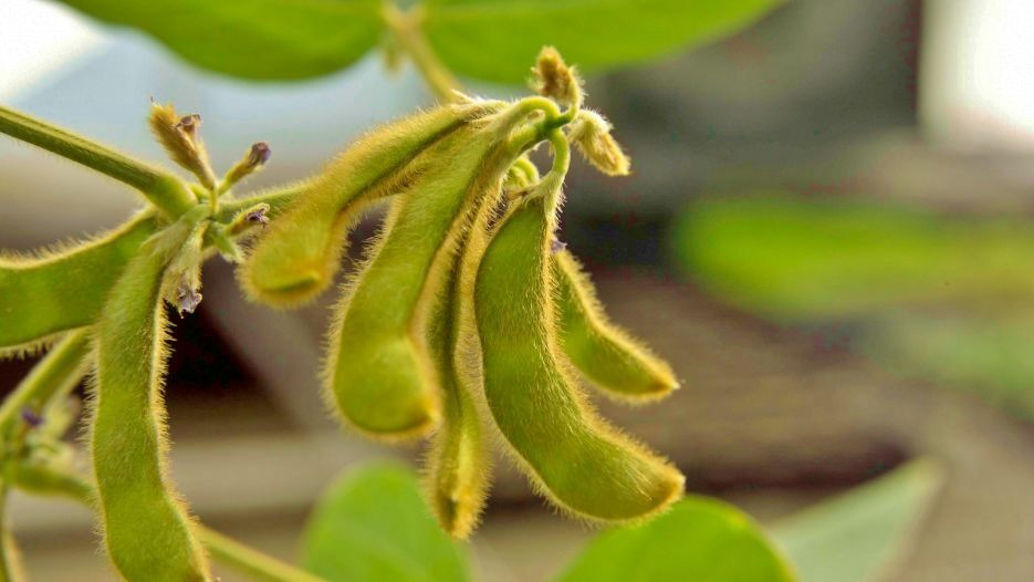 Soybeans closeup