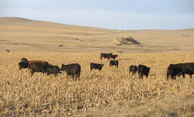 cattle grazing on corn
