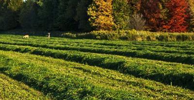 Field of alfalfa with deer