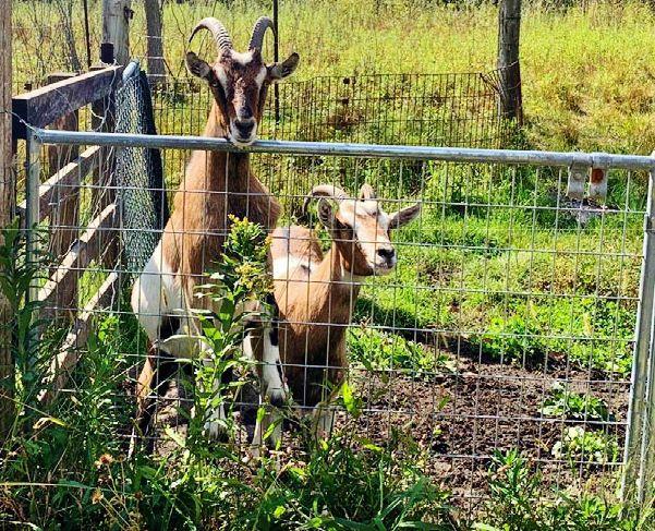 Goats graze weeds