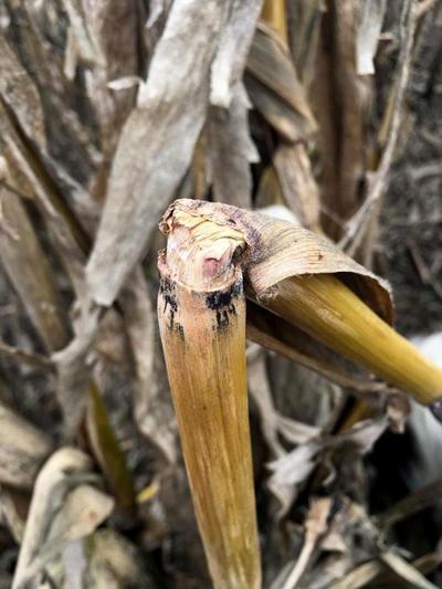 Stalk rot symptoms can be misleading in corn fields