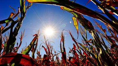 Sun in corn