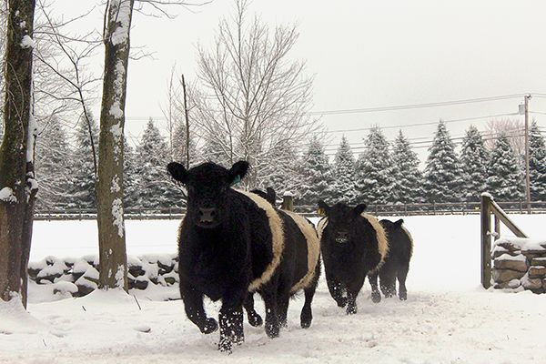Belted Galloway snow trot