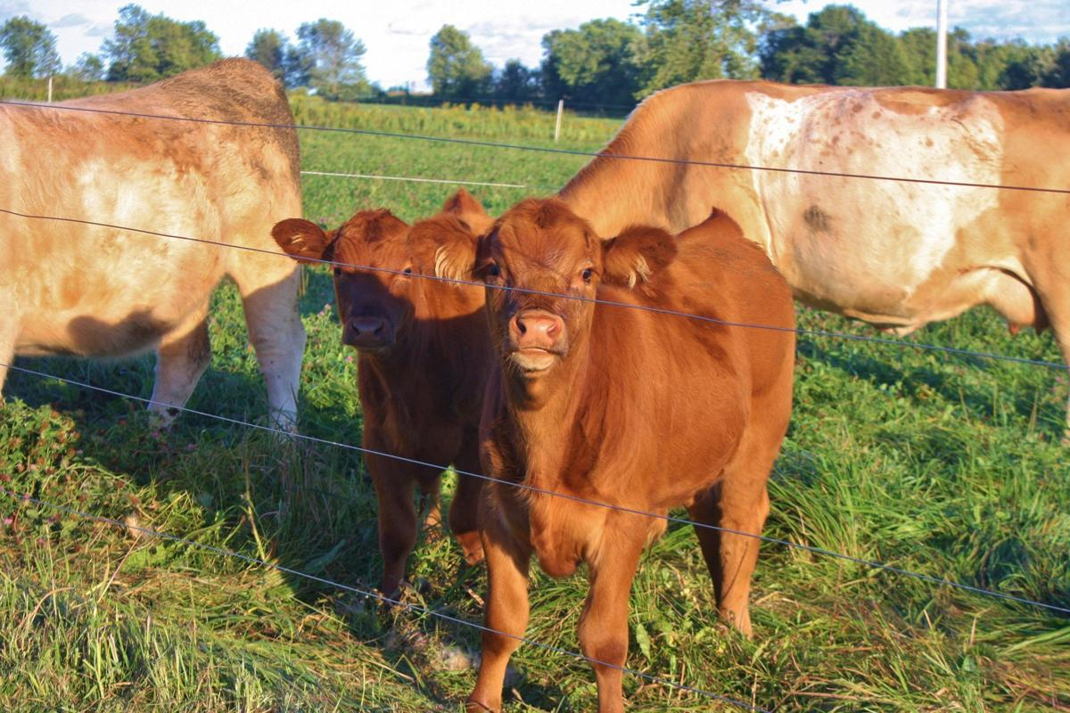 Beef cattle and calf calves in field