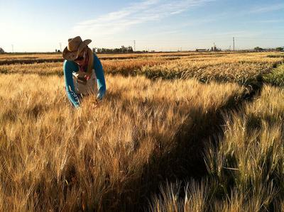 Researcher in wheat USDA photo (Feb 8)