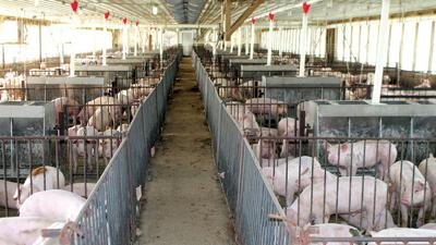Pork production