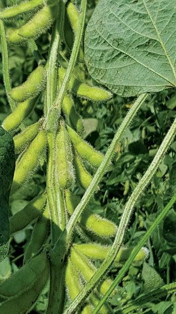 Van Duyn soybeans