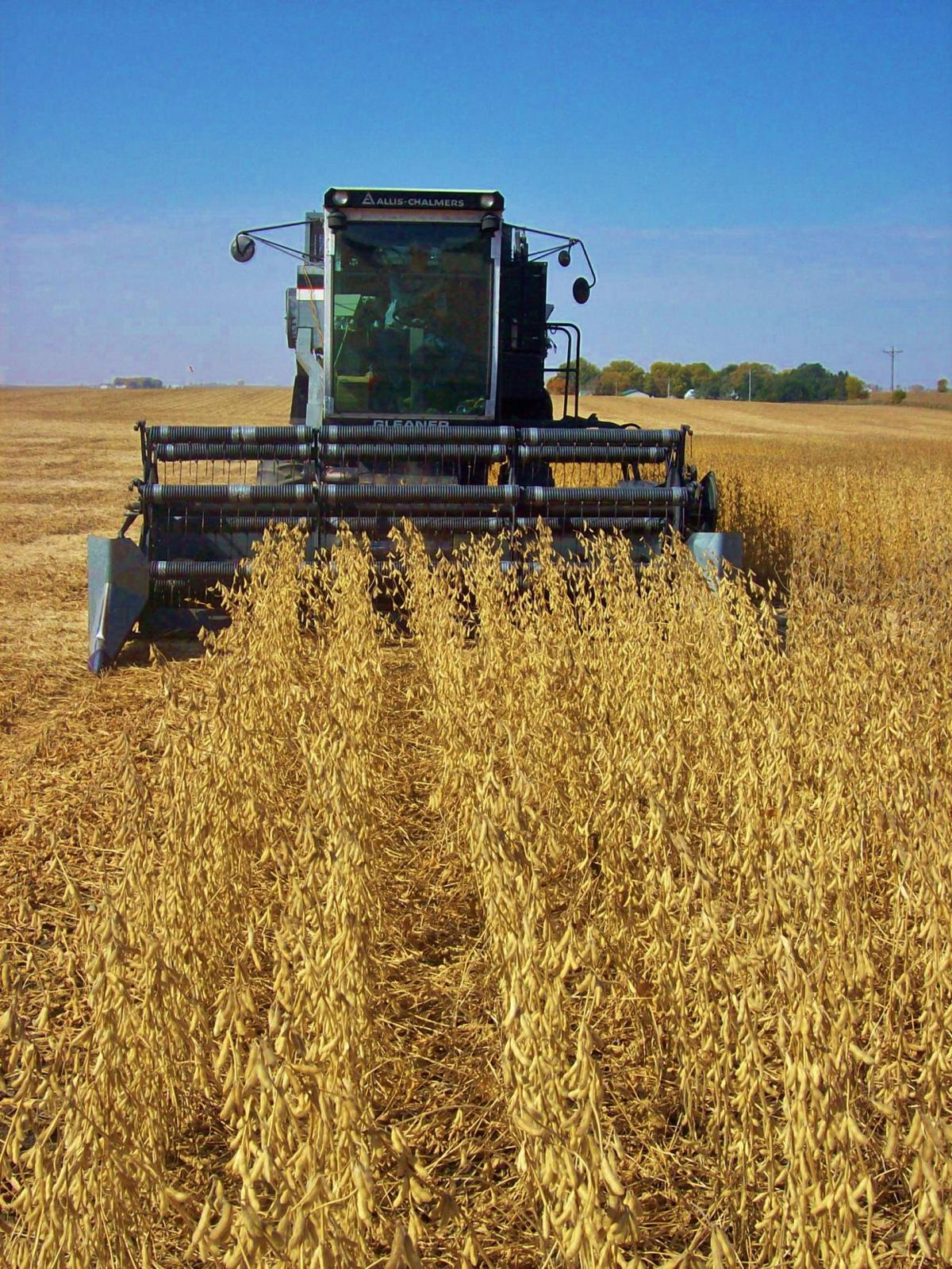 Combine harvests soybeans