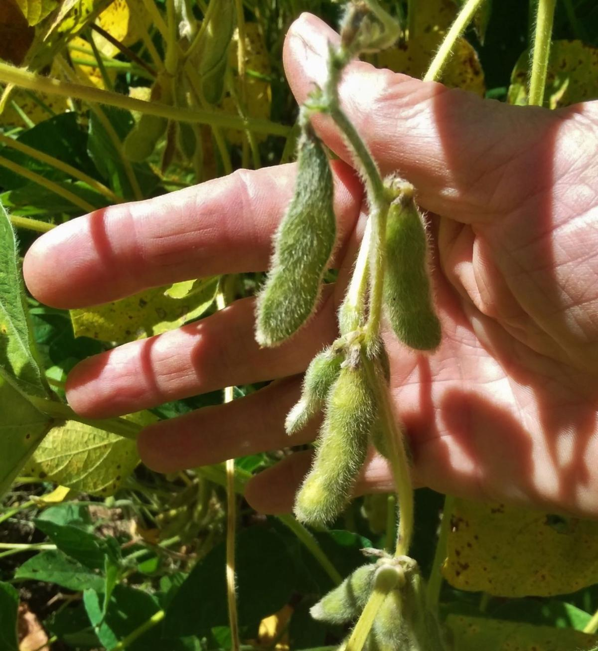 Soybean pods round out after rains.