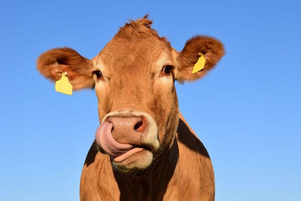 Cattle facial rec software
