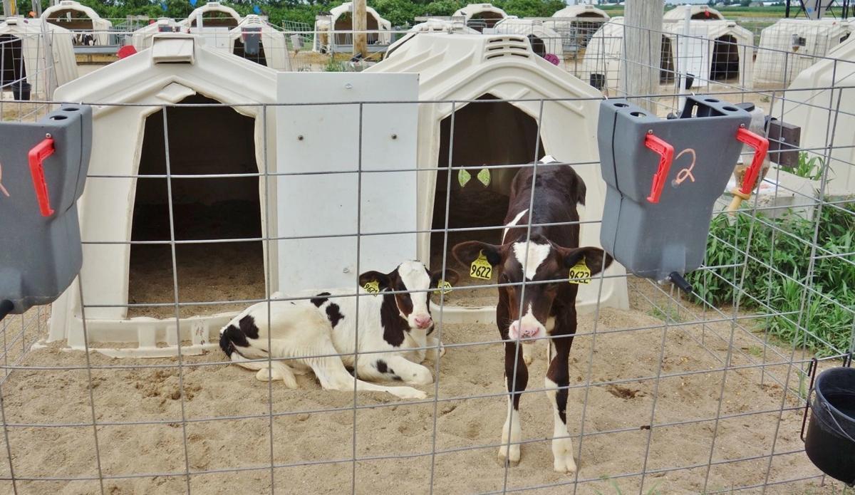 Holstein calves share pen