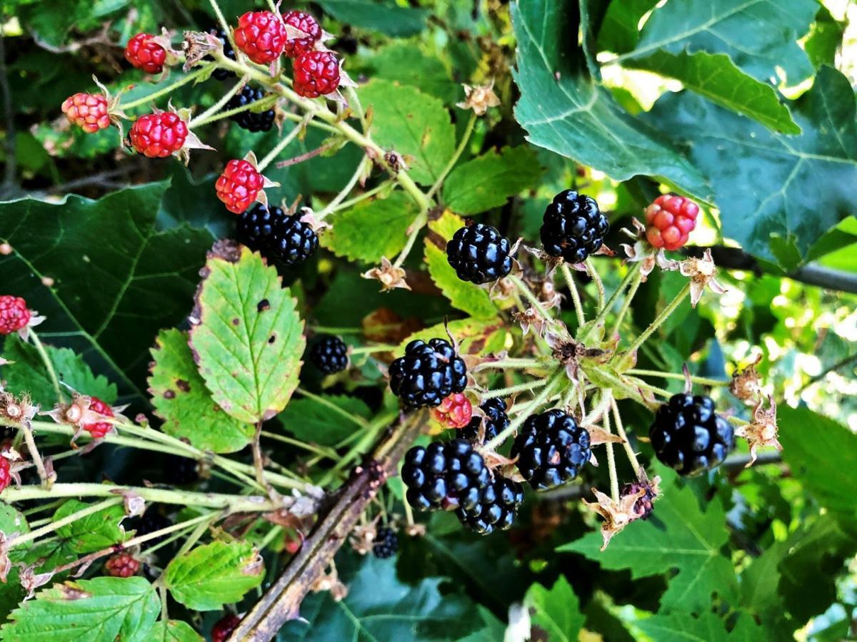 Blackberries in woods on vines