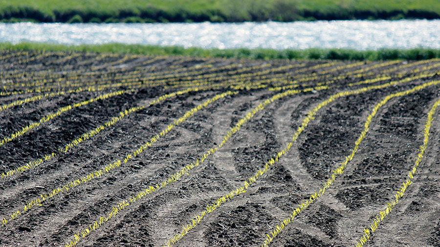 Emerging crop rows