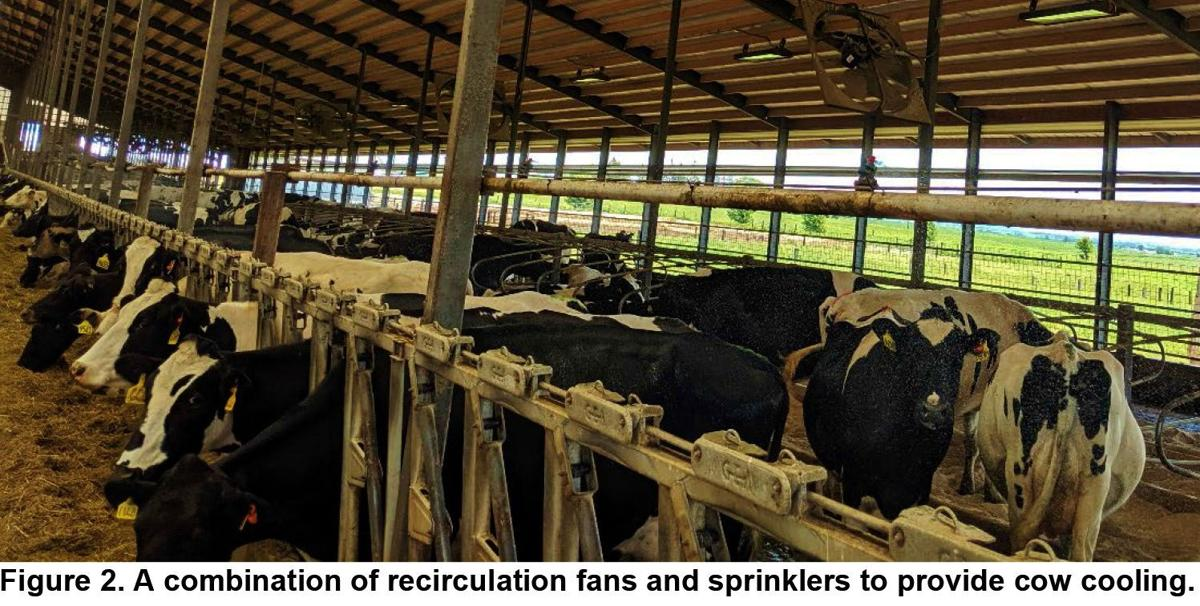 A combination of recirculation fans and sprinklers provide cow cooling