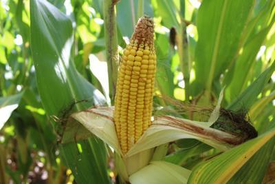 Dented Corn