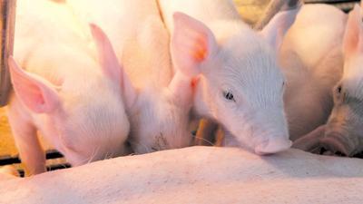 NPD - piglet file photo