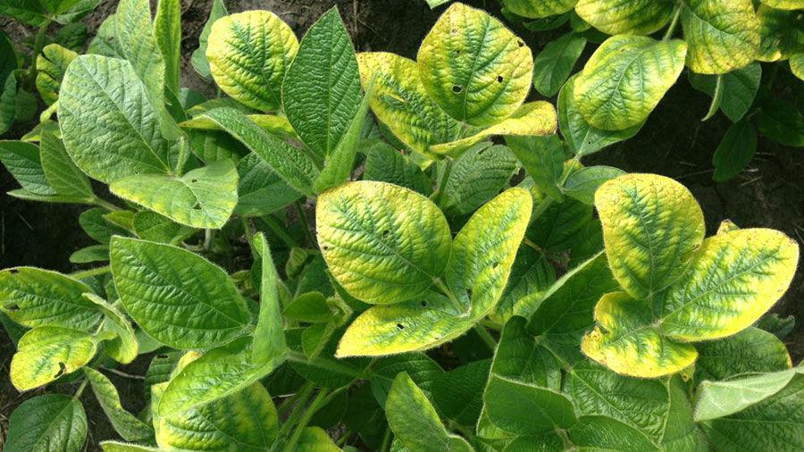 Potassium deficiency symptoms on soybean plants