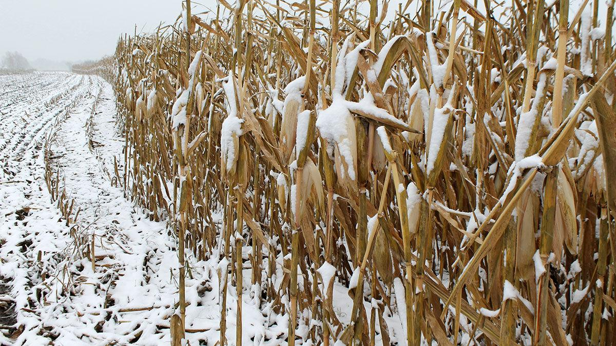 October snow falls on a corn field in Boone County, Missouri
