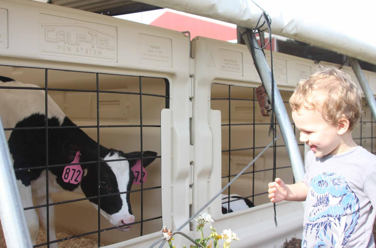 Fletcher interacts with cow (copy)