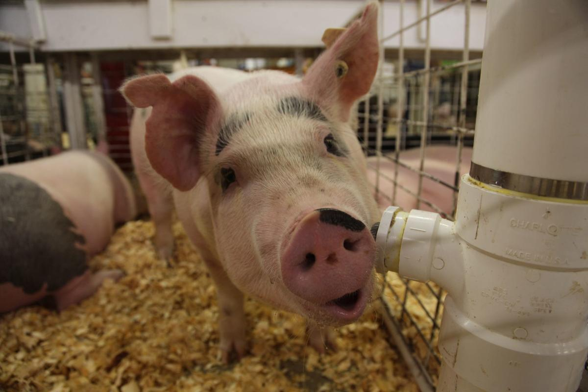Piggy -- Walworth County Fair