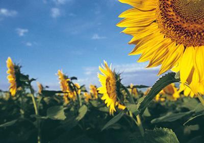 Sunflowers in bloom 01 28 2019 (copy)