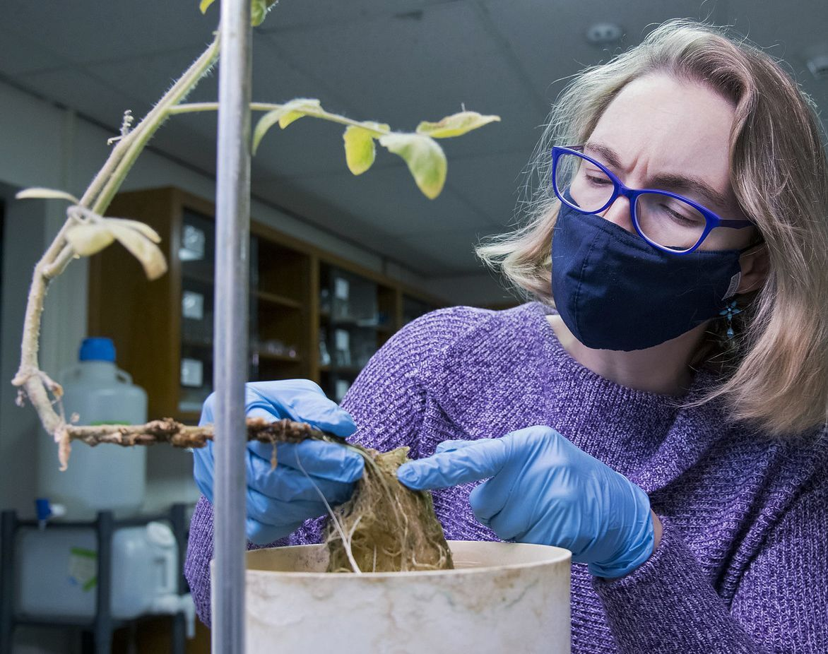 Fiona Goggin extracting nematodes