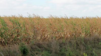 corn field waits for rain in Johnson County, Iowa