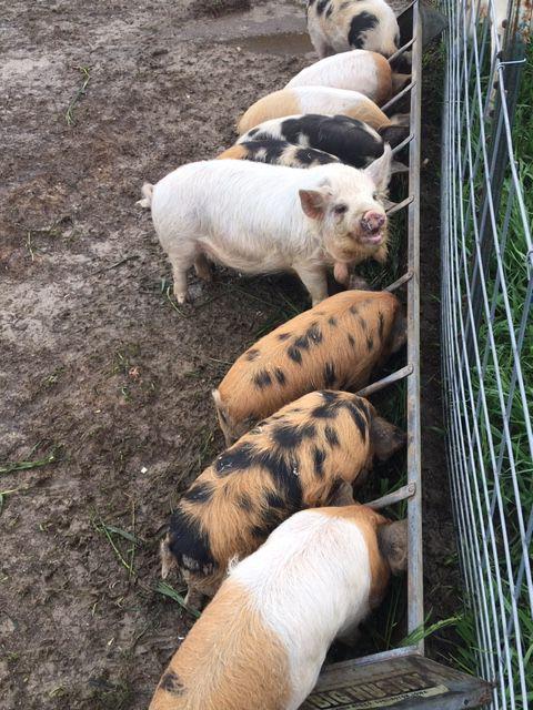 kunekune pigs on Anchor Meadow Farm