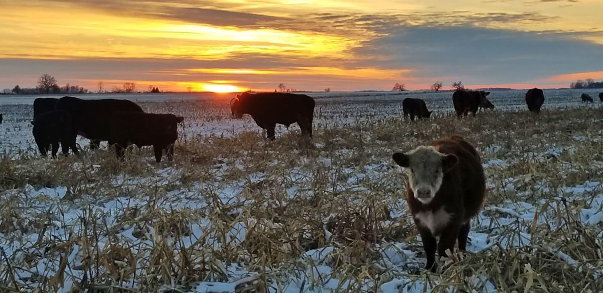 Tom Cotter can graze his fields late in the year.