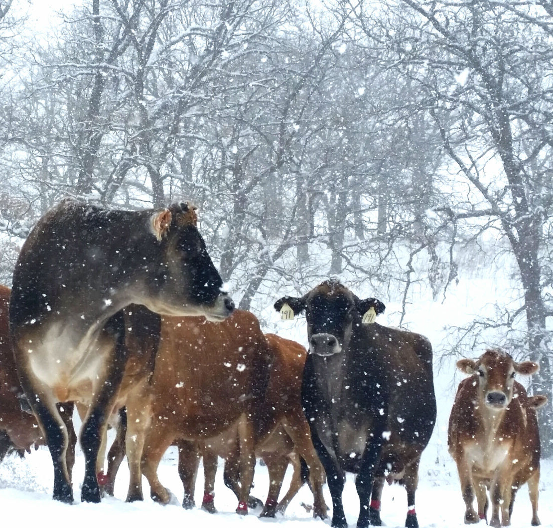Jersey dairy cows in snow