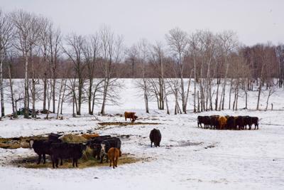 University of Minnesota photo beef cows feeding in northern MN