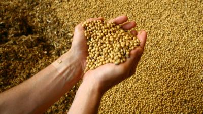 Soybeans in hand