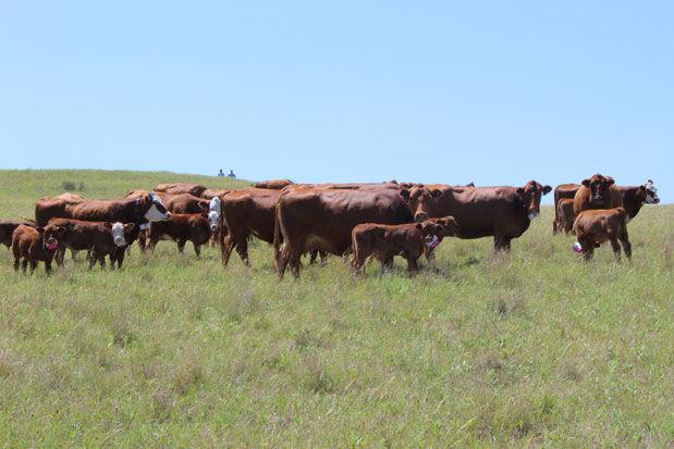 Cattle behavior study