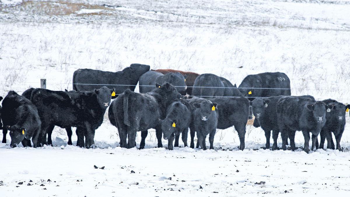 Winter cattle herd health