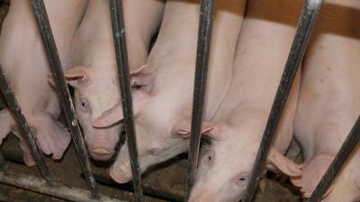 Pigs in building