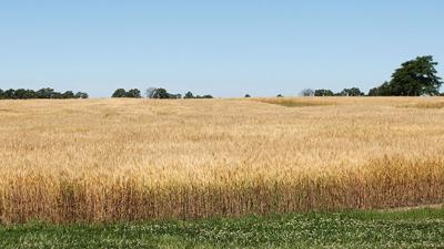 MO Wheat