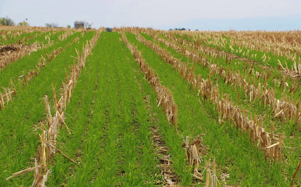 Winter rye cover crop in spring