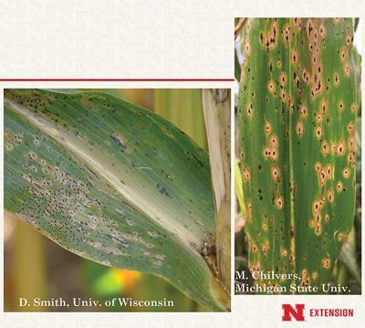 Corn, soybean disease won't be hard to spot in 2020