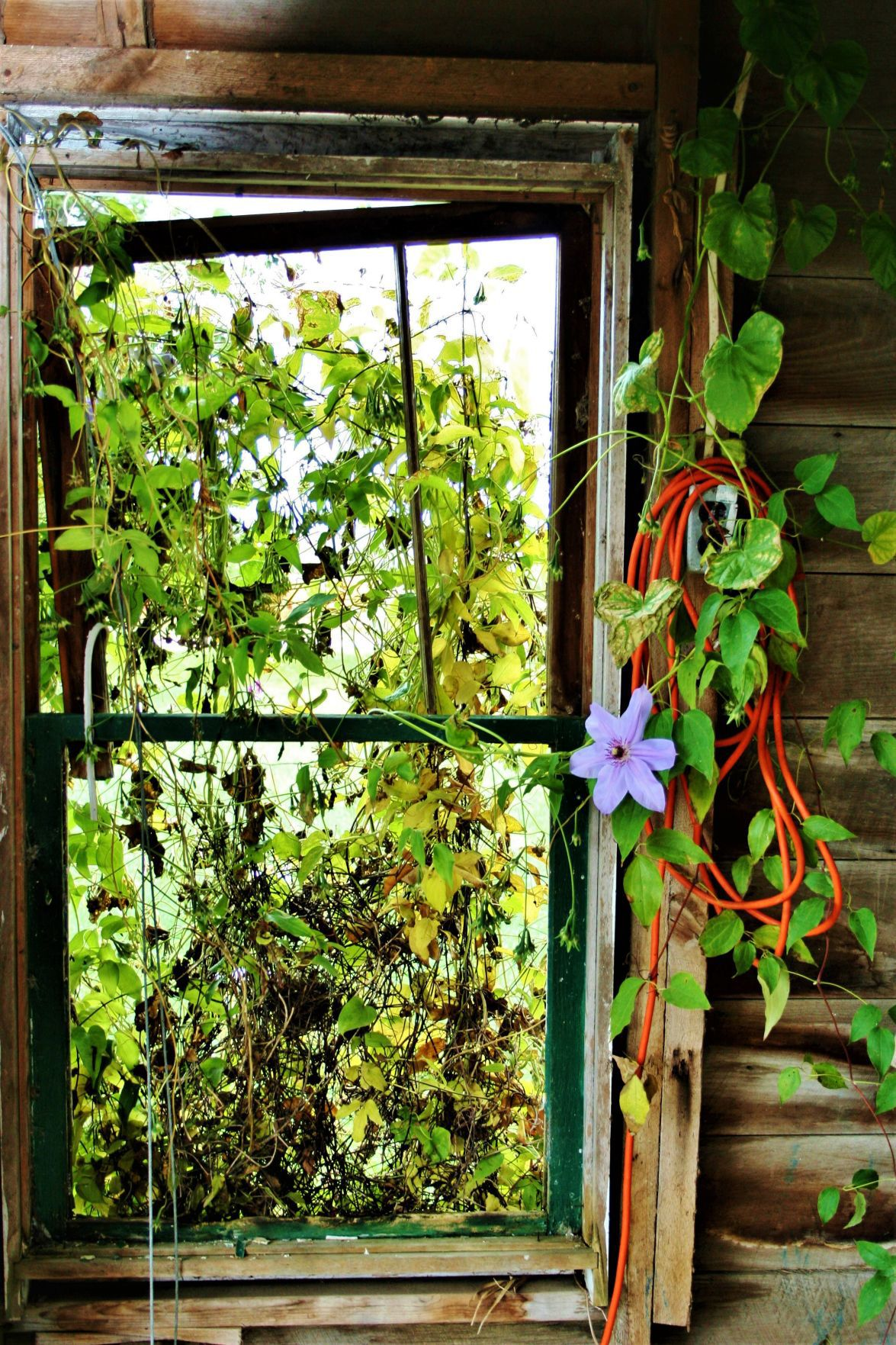 A clematis finds its way to the inside of the summer kitchen