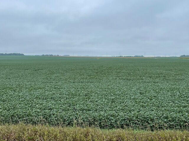 Late August soybeans