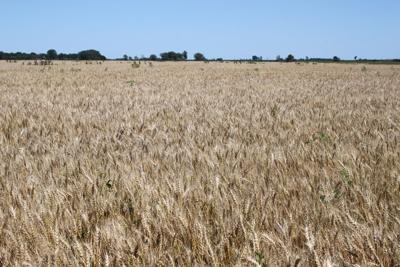 Small Grain Harvest in Traverse County 2019