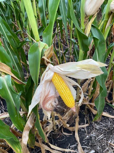 Corn late August