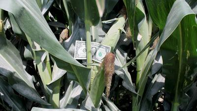 Corn silking with money