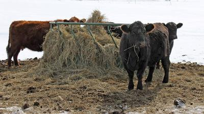 Cattle with hay